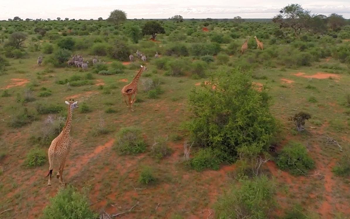 giraffe riprese utilizzando droni professionali